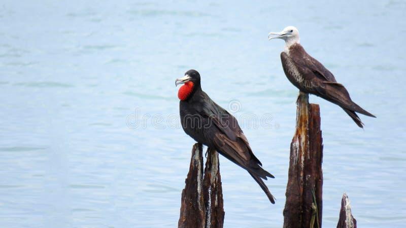 Sigue habiendo un par de basar magnífico de Frigatebirds en un puente viejo fotografía de archivo libre de regalías