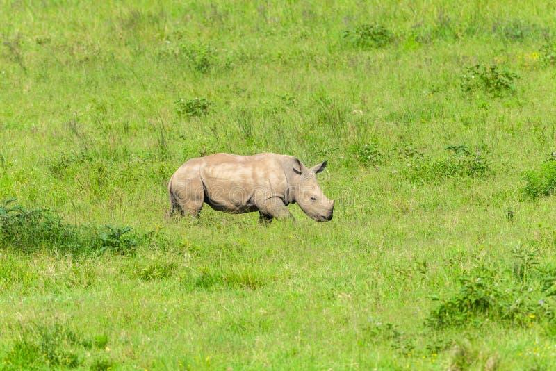 Siguiente recién nacido del becerro del rinoceronte imagen de archivo