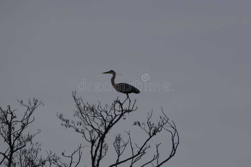 Sihouette цапли на дереве стоковое фото rf