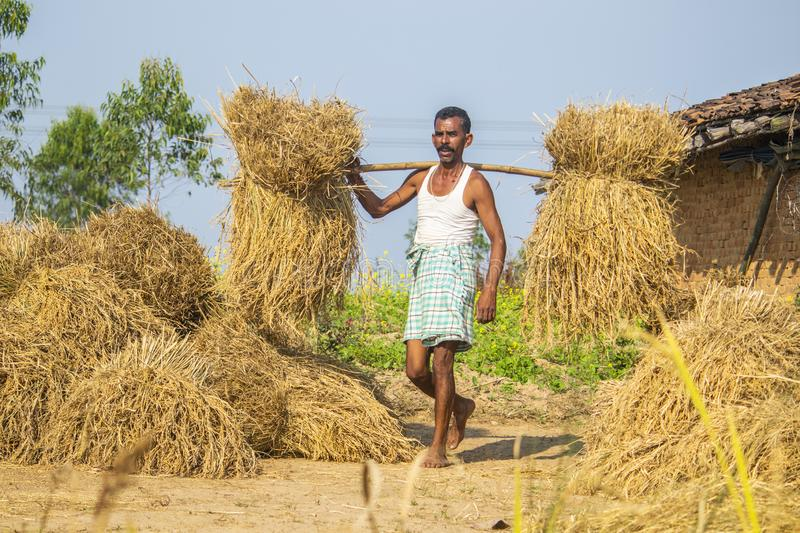 Farmer is collecting rice stack in the field. stock photos
