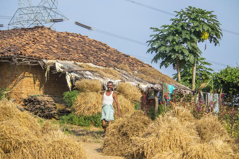 Farmer is collecting rice stack in the field. stock images
