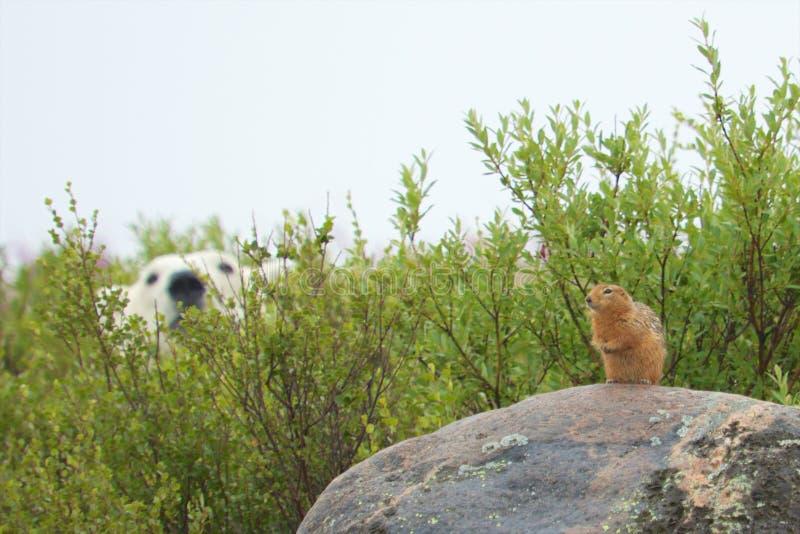 Sik Sik和饥饿的北极熊 免版税库存图片