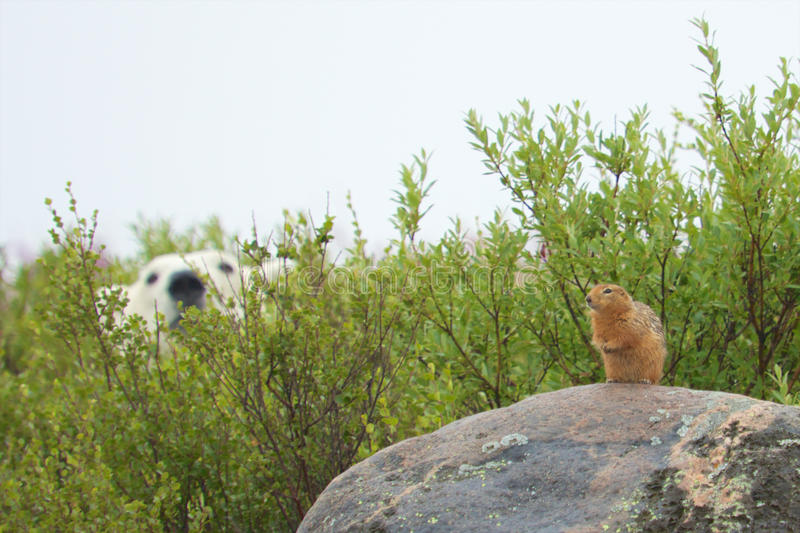 Sik Sik and hungry Polar Bear. Wary Sik Sik, a kind of Arctic ground squirrel, sitting on a rock with a Canadian Polar Bear lurking for a snack behind the bushes royalty free stock image