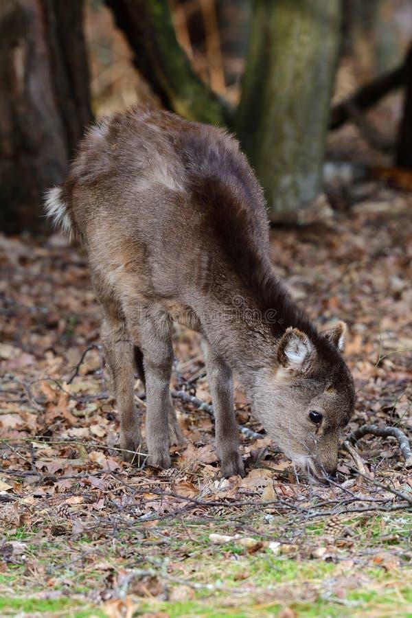 Sika鹿鹿日本 免版税库存照片