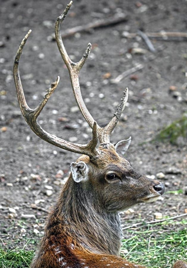Sika鹿男性 库存照片