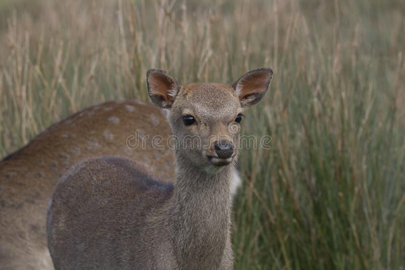 Sika鹿,雄鹿,后面,小牛画象,当在长的草时 免版税图库摄影
