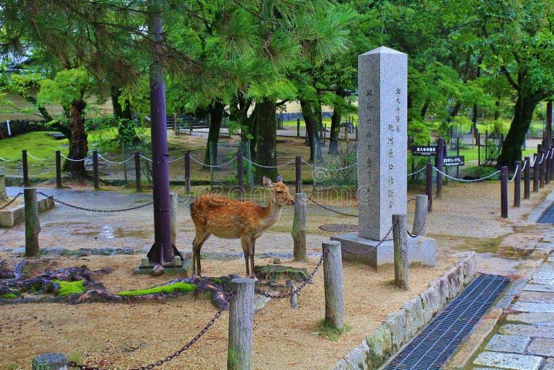 Sika鹿 免版税库存图片
