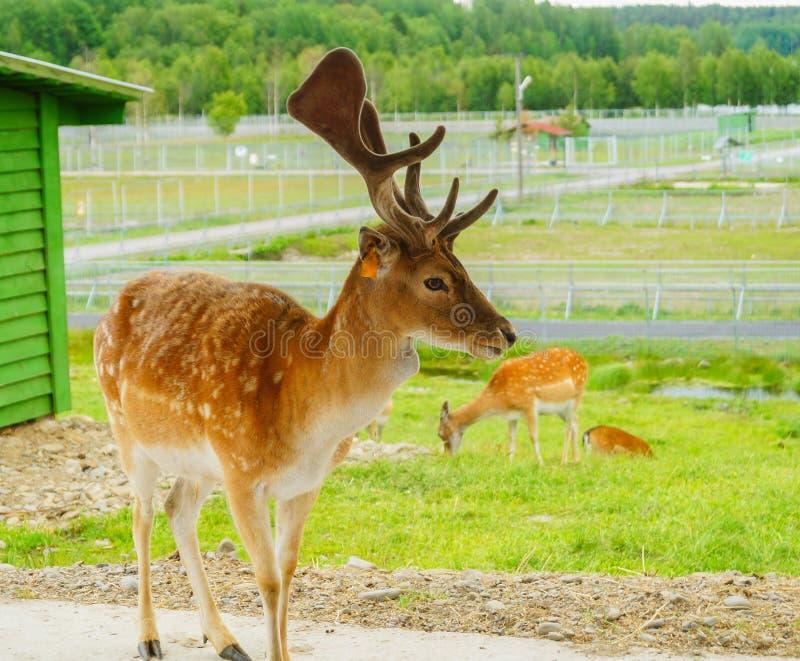 Sika ή επισημασμένο κοπάδι deers στη ζούγκλα στο ζωολογικό κήπο της Καρελίας στοκ φωτογραφίες