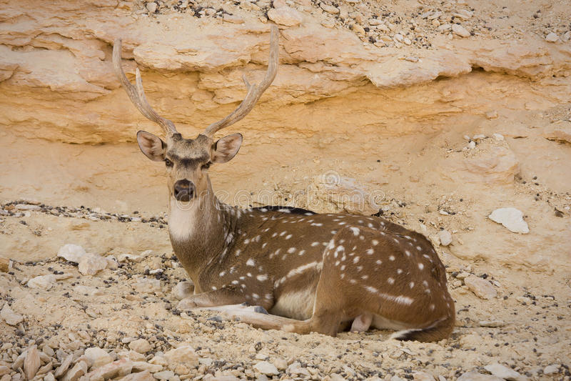 sika оленей отдыхая стоковое фото