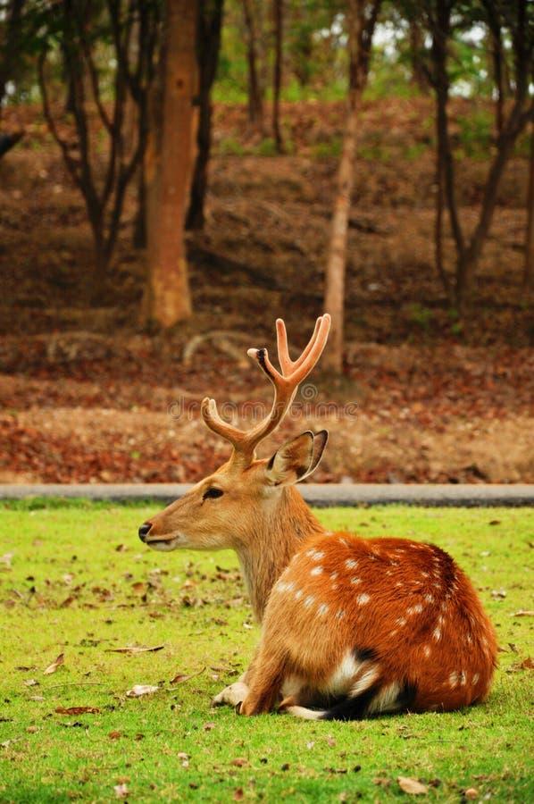 The Sika Deer Stock Photos