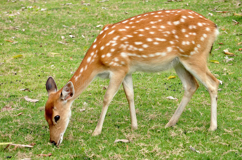 Download Sika deer stock photo. Image of field, african, little - 21130944