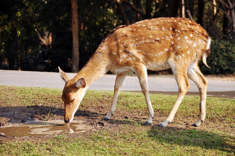 Download Sika Deer stock photo. Image of creature, green, animal - 22527040