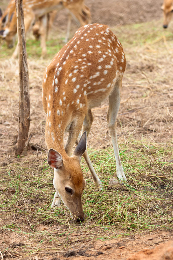 Download A Sika Deer stock image. Image of face, venison, youth - 25510143