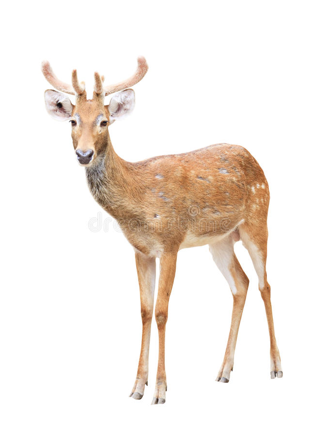 Free Sika Deer At A Zoo Isolated On White Stock Photos - 17080883