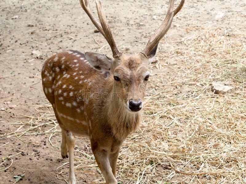 Sika deer buck royalty free stock images