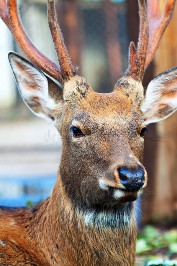 Sika deer (Cervus nippon) royalty free stock photography