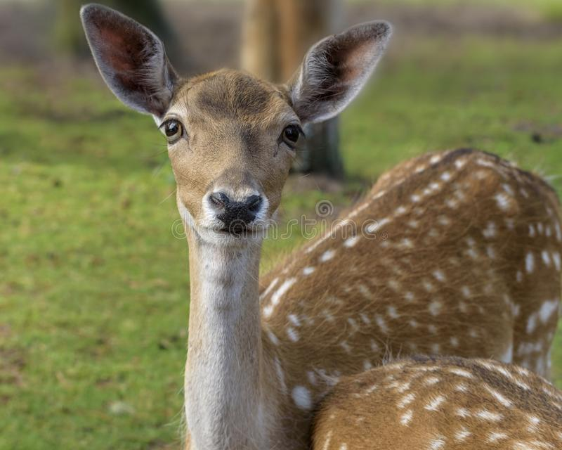 Sika deer Cervus nippon also known as the spotted deer or the Japanese deer. Wildlife and animal photo stock images
