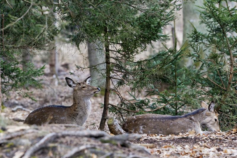 Sika deer, Cervus nippon, female, forest royalty free stock photo