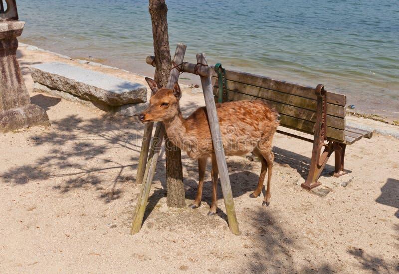 Sika deer (Cervus nippon) on Itsukushima island, Japan royalty free stock photo