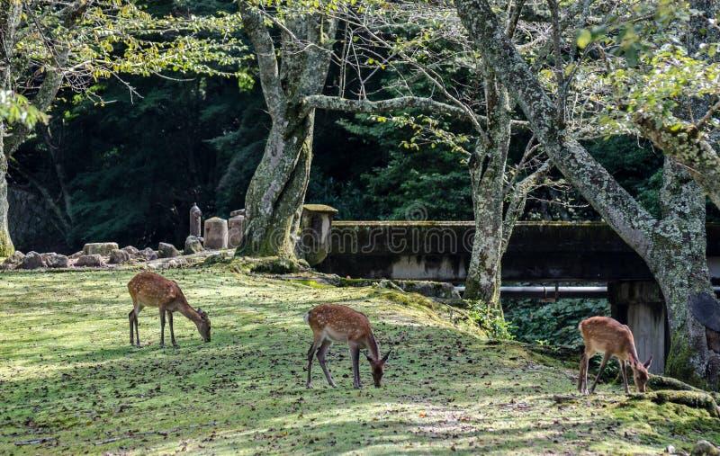 Sika Deer (Cervus nippon)  at Miyajima (Itsukushima) island. Japan stock photos
