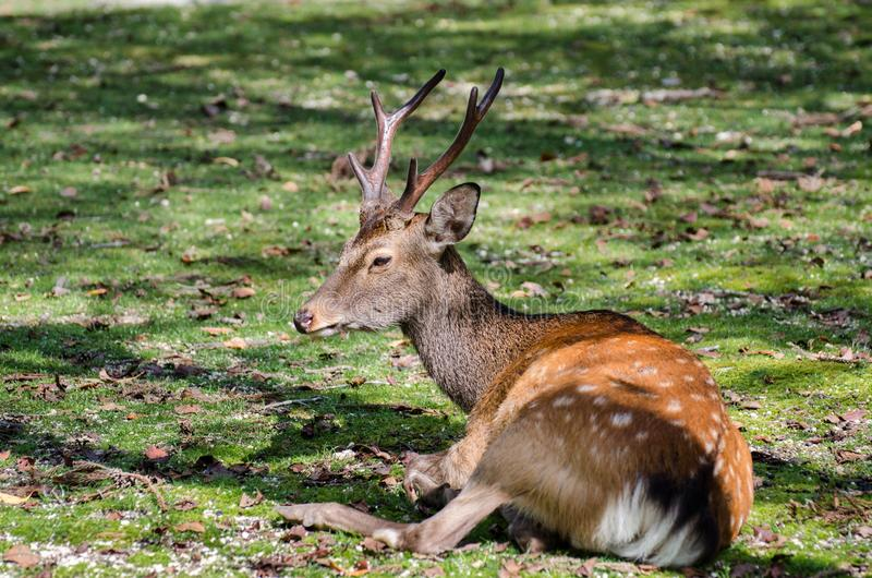 Sika Deer (Cervus nippon)  at Miyajima (Itsukushima) island. Japan royalty free stock photos