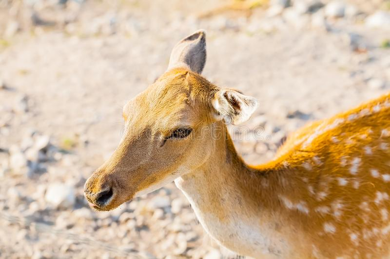 Sika Deer Cervus nippon in private park on the landscape. royalty free stock image