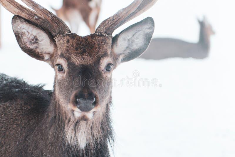 Sika deer , Cervus nippon, spotted deer stock images