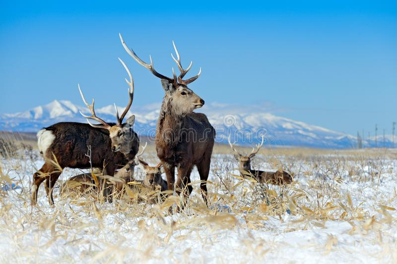 Sika deer, Cervus nippon yesoensis, on the snowy meadow, winter mountains and forest in the background, animal with antlers in the. Nature habitat, winter scene stock images