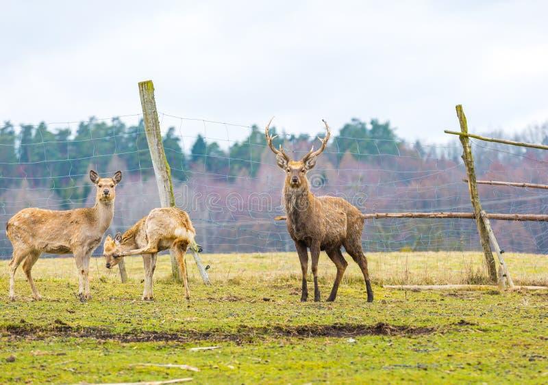 Sika deer - Dybowski deer flock stock image