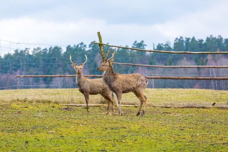 Sika deer - Dybowski deer flock stock images