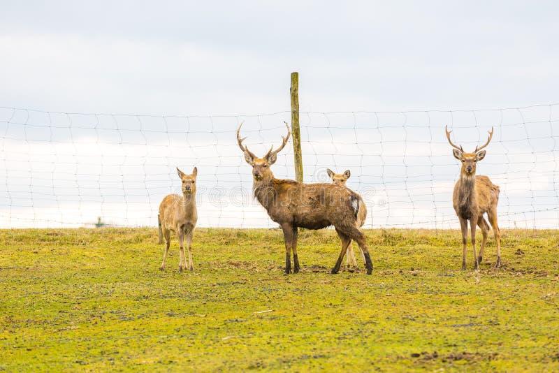 Sika deer - Dybowski deer flock stock photography