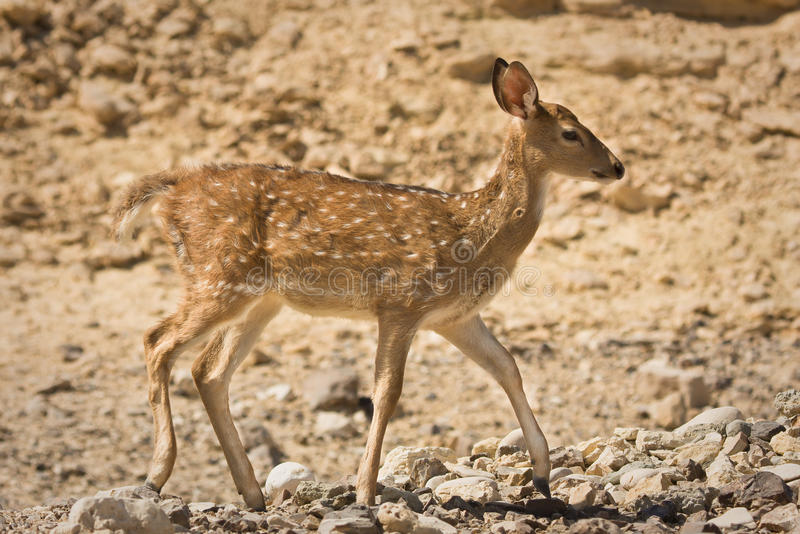 Sika Deer female stock image