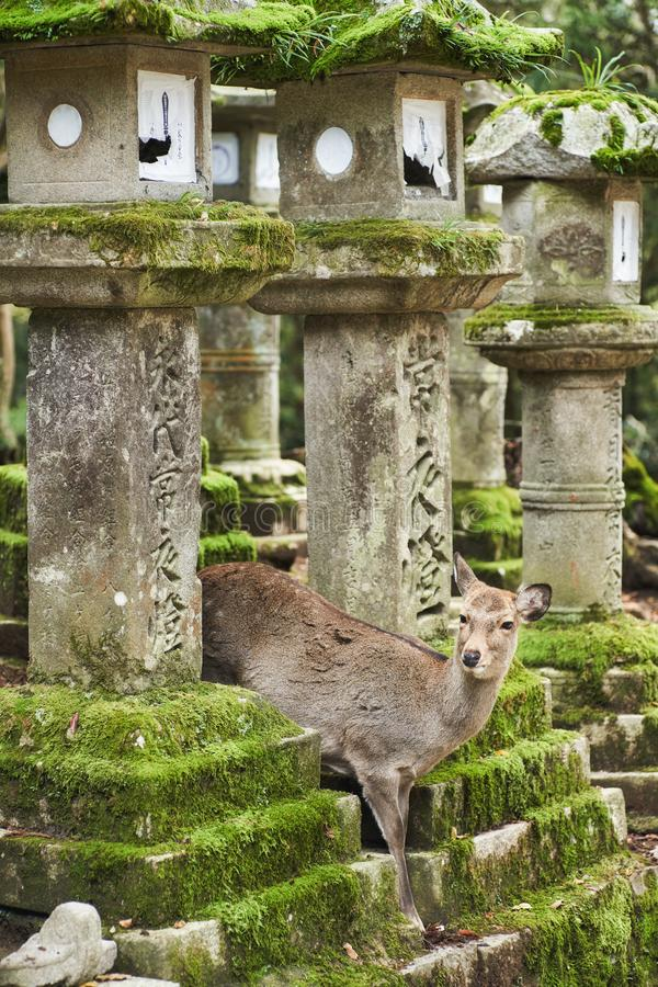Sika deer in Kasugataisha shrine Kasuga-taisha of Nara public park. royalty free stock photography
