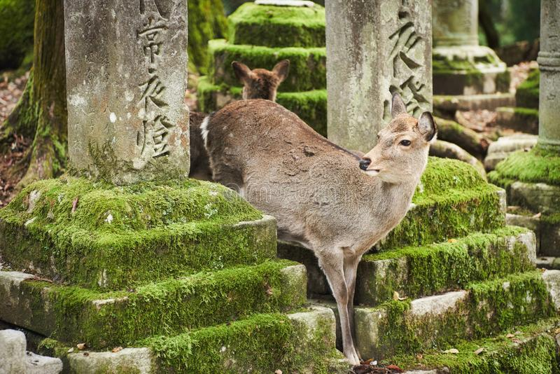 Sika deer in Kasugataisha shrine Kasuga-taisha of Nara public park. stock images