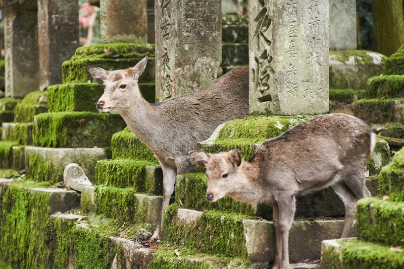 Sika deer in Kasugataisha shrine Kasuga-taisha of Nara public park. stock photo