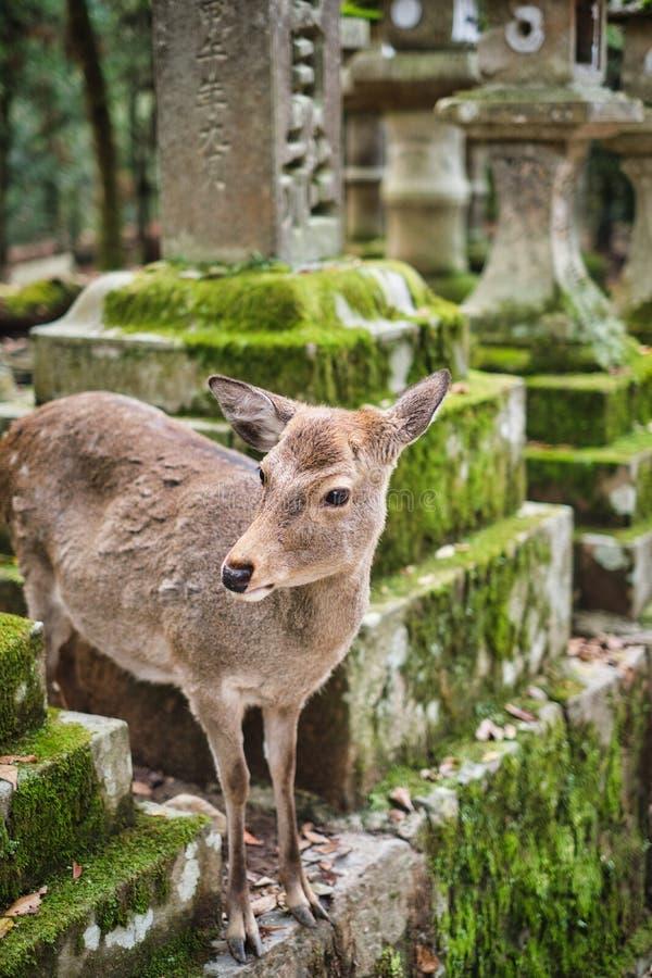 Sika deer in Kasugataisha shrine Kasuga-taisha of Nara public park. stock photo