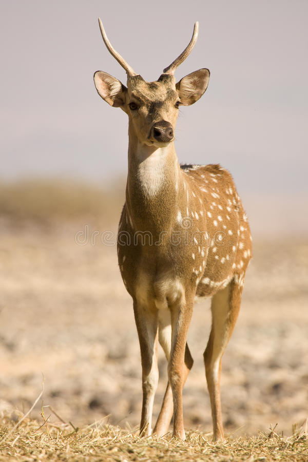 Sika Deer male royalty free stock photo