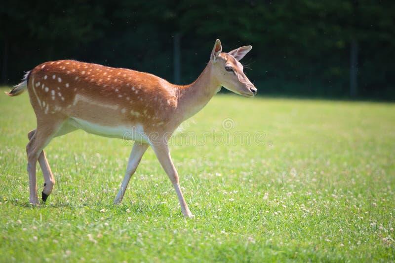 Download Sika deer on meadow stock image. Image of brown, mammal - 23250195