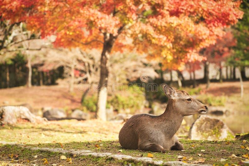 Sika deer in morning warm sunshine. stock image