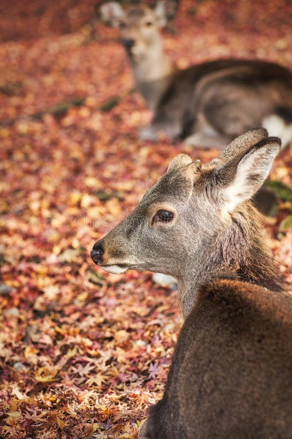 Sika deer in morning warm sunshine. royalty free stock images