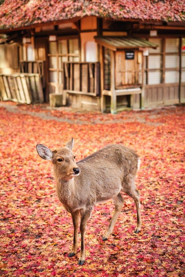 Sika deer in morning warm sunshine. stock photos