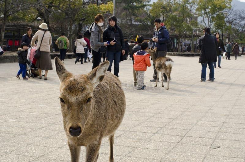Sika deer among people. On Miyajima Island in Japan stock image