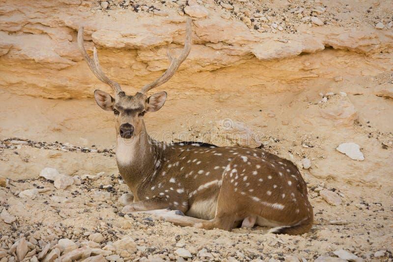 Sika Deer resting stock photo