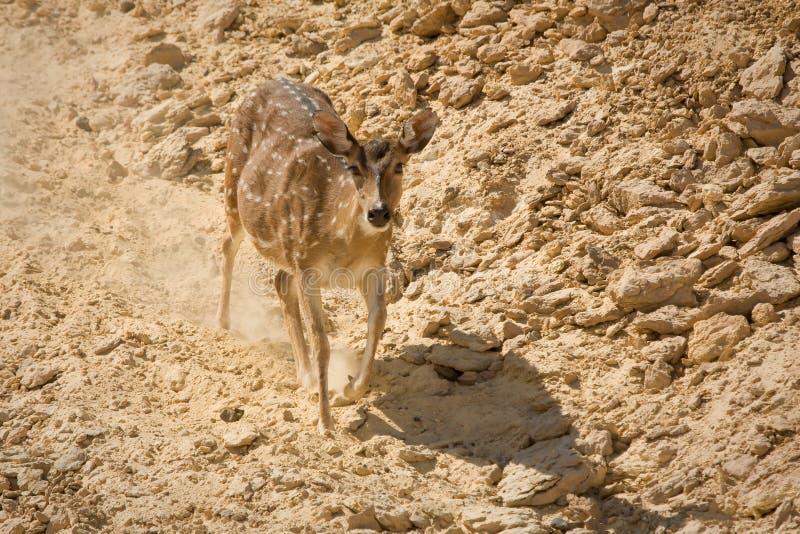 Sika Deer running stock photos