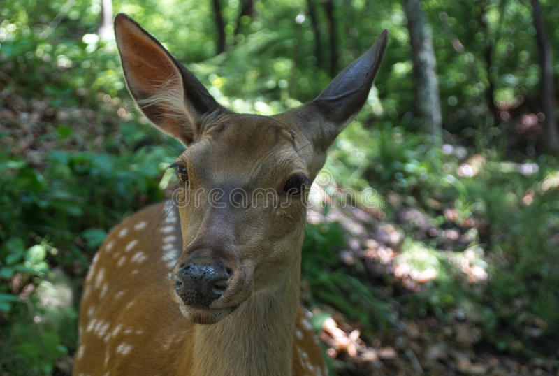 Sika deer stock photo