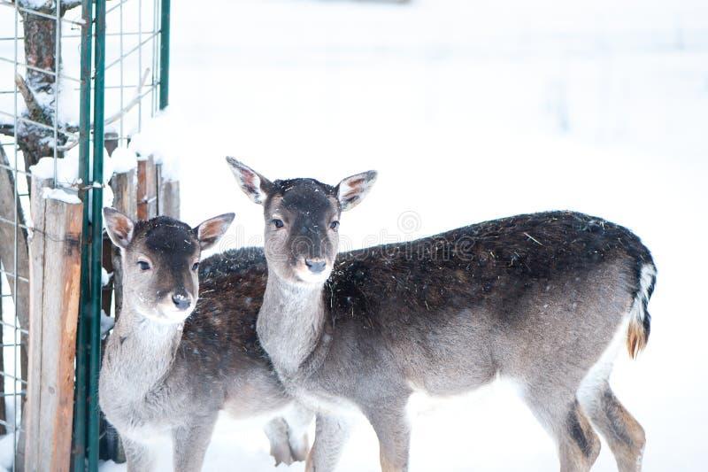 Sika deers, Cervus nippon, spotted deer royalty free stock photo