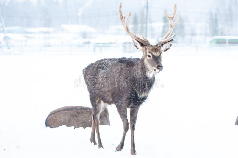 Sika deers , Cervus nippon, spotted deer stock photography