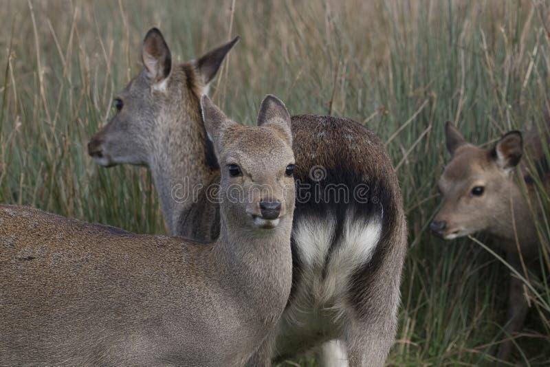 Sika hjortar, fullvuxen hankronhjort, hind, kalvstående medan i långt gräs royaltyfri foto