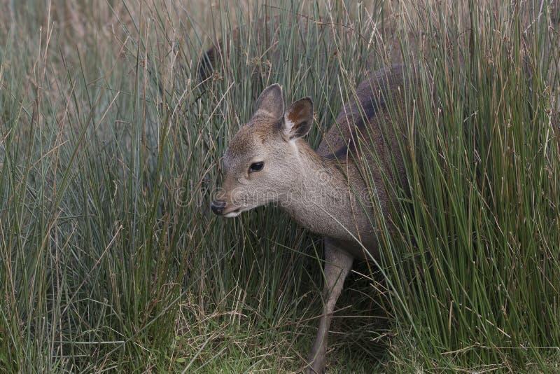 Sika hjortar, fullvuxen hankronhjort, hind, kalvstående medan i långt gräs arkivbild