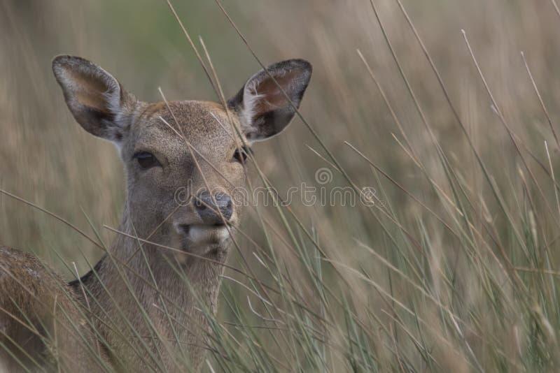 Sika hjortar, fullvuxen hankronhjort, hind, kalvstående medan i långt gräs arkivbilder